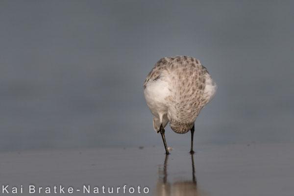Sanderling SK (Calidris alba), Nov 2014 MV/GER, Bild 7