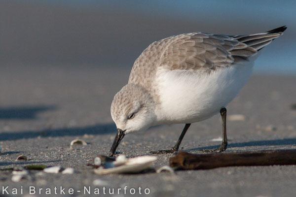 Sanderling SK (Calidris alba), Jan 2015 MV/GER, Bild 11