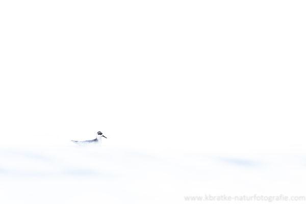 Thorshühnchen (Phalaropus fulicaria), Nov 2020 MV/GER, Bild 2
