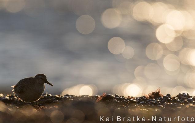 Knutt 1. KJ (Calidris canutus), Sept 2016 MV/GER, Bild 19