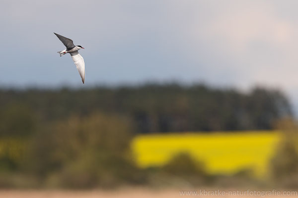 Weißbart-Seeschwalbe (Chlidonias hybrida) Mai 2021 MV/GER, Bild 1