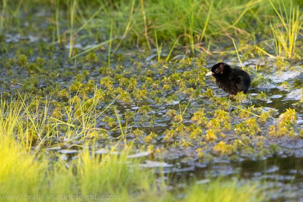 Wasserralle (Rallus aquaticus), Juni 2019 Nds/GER, Bild 7
