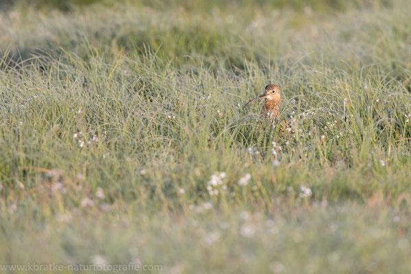 Großer Brachvogel (Numenius arquata), Mai 2020 Nds/GER, Bild 3