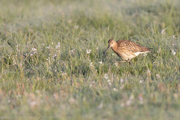 Großer Brachvogel (Numenius arquata), Mai 2020 Nds/GER, Bild 6