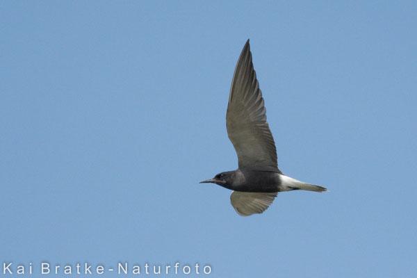 Trauerseeschwalbe PK (Chlidonias niger), Juni 2014 MV/GER, Bild 2