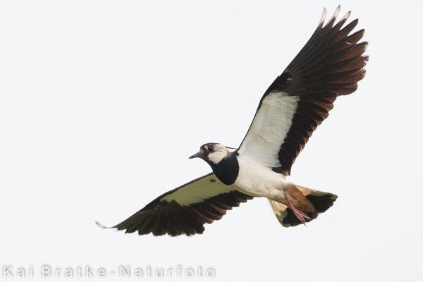 Kiebitz (Vanellus vanellus), Mai 2015 Nds/GER, Bild 4