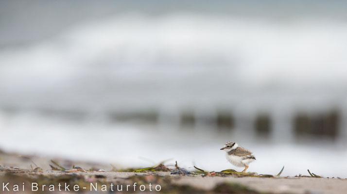Sandregenpfeifer Pullus (Charadrius hiaticula), Juli 2017 MV/GER, Bild 57