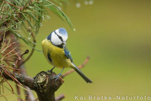Blaumeise (Parus caeruleus), Dez 2013 Nds/GER, Bild 1