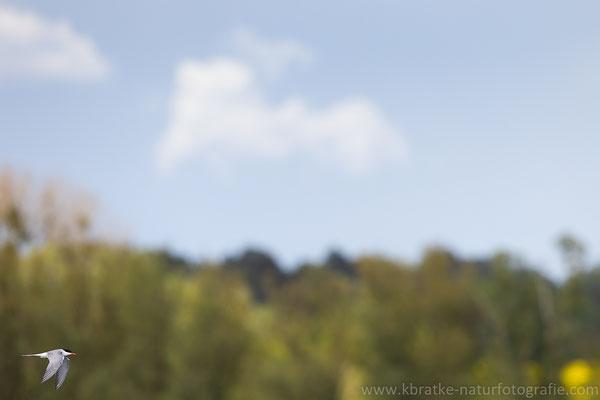 Flussseeschwalbe (Sterna hirundo), Mai 2021 MV/GER, Bild 3