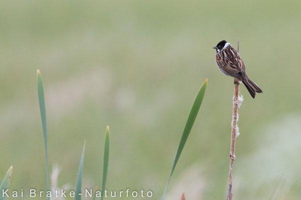 Männl. Rohrammer (Emberiza schoeniclus) im Habitat, Mai 2015 Nds/GER, Bild 1