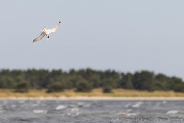 Brandseeschwalbe (Thalasseus sandvicensis), Aug 2021 MV/GER, Bild 8