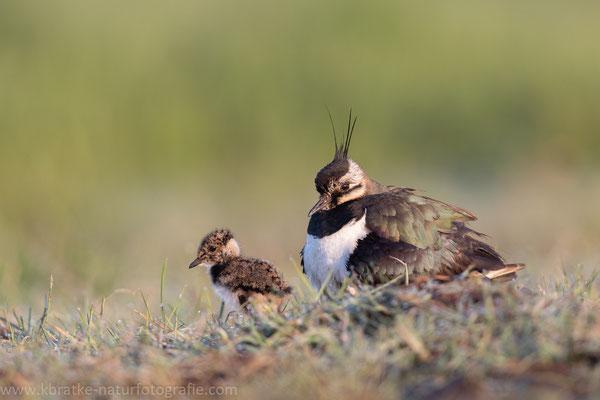 Kiebitz (Vanellus vanellus), Mai 2020 Nds/GER, Bild 16