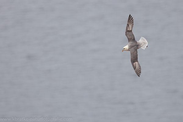 Eissturmvogel (Fulmarus glacialis), Mai 2021 SH/GER, Bild 1