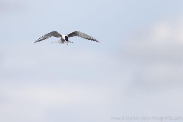 Flussseeschwalbe (Sterna hirundo), Mai 2021 MV/GER, Bild 5