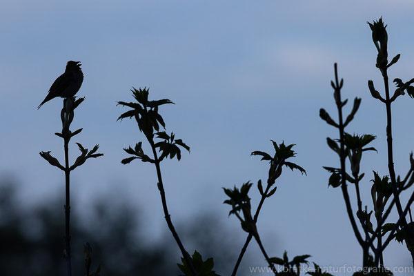 Karmingimpel männl. (Carpodacus erythrinus), Mai 2021 MV/GER, Bild 17