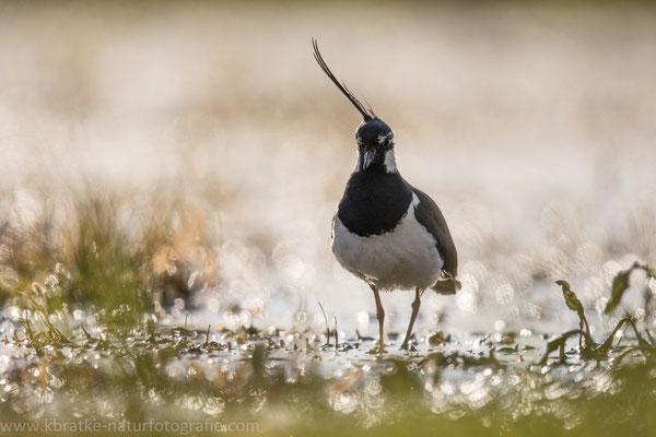 Kiebitz (Vanellus vanellus), Mai 2020 Nds/GER, Bild 17