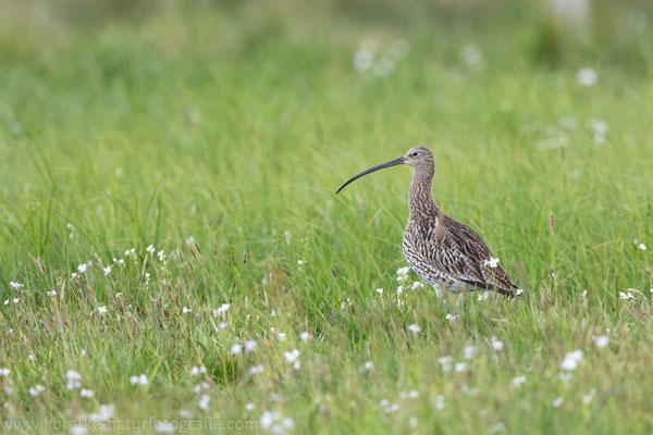 Großer Brachvogel (Numenius arquata), Mai 2020 Nds/GER, Bild 2