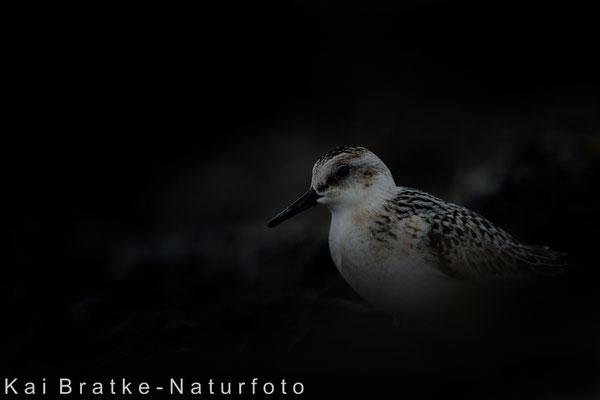 Sanderling 1. KJ (Calidris alba), Sept 2017 MV/GER, Bild 36
