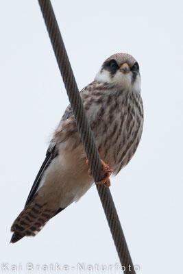 Rotfußfalke K1 (Falco vespertinus), Aug 2015 MV/GER, Bild 4