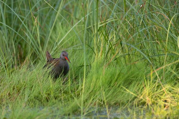 Wasserralle (Rallus aquaticus), Juni 2019 Nds/GER, Bild 6