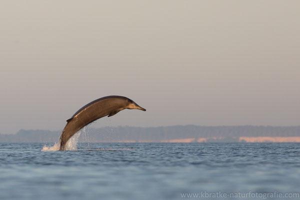 Sowerby-Zweizahnwal