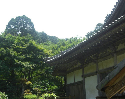 本堂と本堂裏の一向杉