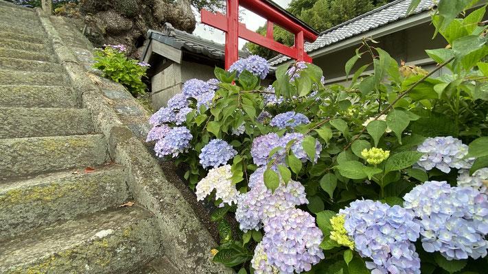 紫陽花 あじさい(5月下旬~6月中旬) 稲荷横