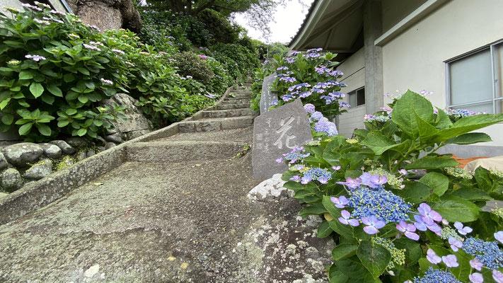 紫陽花 あじさい(5月下旬~6月中旬) あじさい園への参道