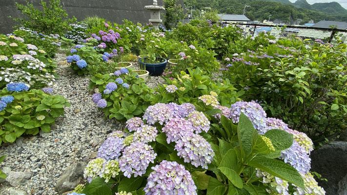 紫陽花 あじさい(5月下旬~6月中旬) 玄関横庭園