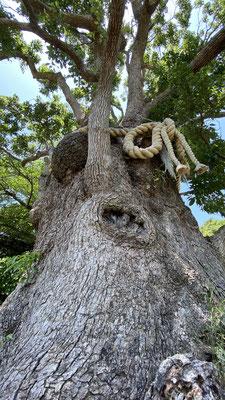 楠の木 くすのき