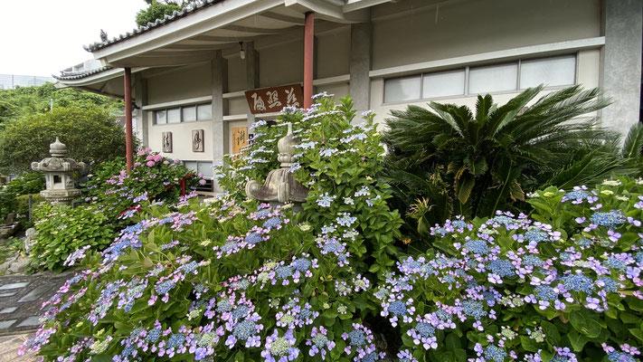 紫陽花 あじさい(5月下旬~6月中旬) 玄関前