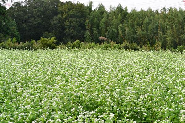 蕎麦畑の風景2