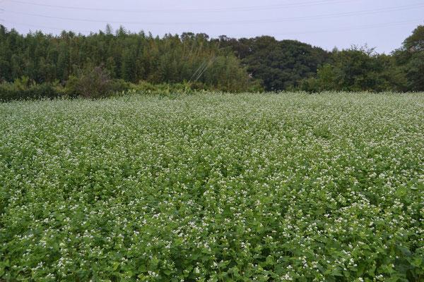 蕎麦畑の風景