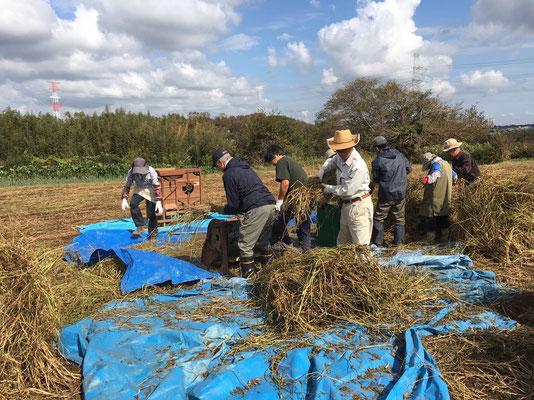 蕎麦の刈り取り2 (1)