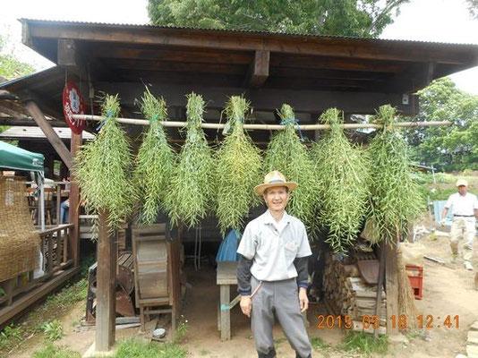 菜の花の刈取り・来年の種にします。目崎紀東