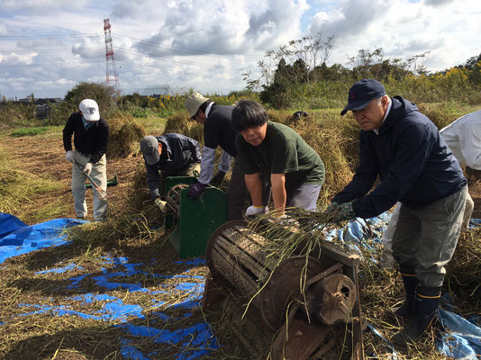 蕎麦の刈り取り2 (2)