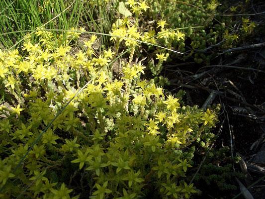 В конце июня активно цветёт очиток едкий на песчанных сухих и возвышенных участках.