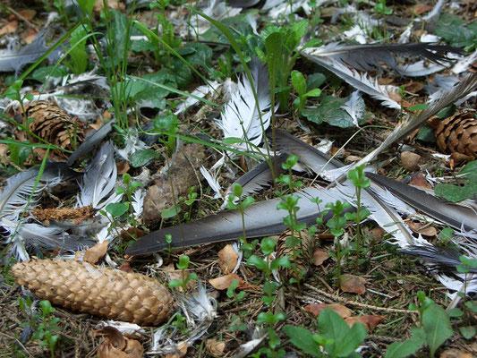 Перья сизого голубя, пойманного и ощипанного ястебом-тетеревятником.