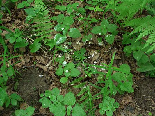 В начале июня на травянистых растениях подлеска часто встречаются скопления пятен птичьего помёта. Это места продолжительного пребывания выводков дроздов, синиц и пр.