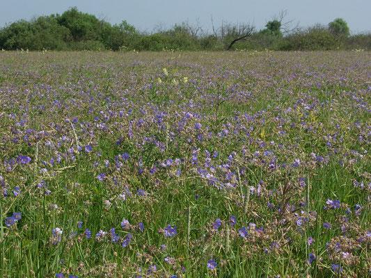 Обширный участок луга, покрытый цветущей луговой геранью.