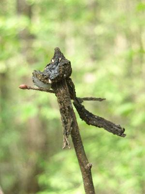 Высохший опёнок, заготовленный белкой осенью и провисевший на ветке всю зиму до весны.