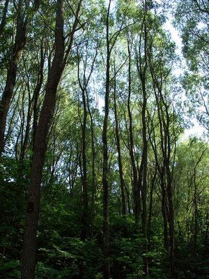 Удивительный ивняк в пойме реки Серебрянка. Высокие, до 20 метров, тонкоствольные ивы образуют сомкнутый древостой.