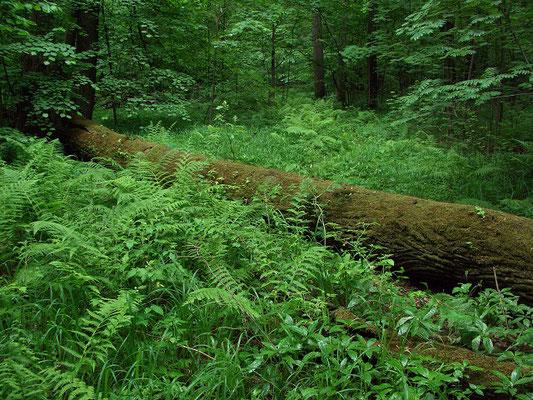 Лежащие на земле колоды затягиваются мхами. Киличество лишайников незначительно.