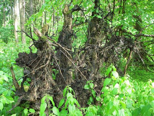 На зыбкой почве торфяника большим деревьям с поверхностной корневой системой приходится нелегко. Многие падают под напором ветров.