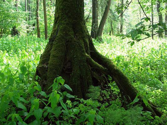 """Чёрные ольхи на торфяниках вынуждены отращивать """"ходули"""", как делают многие тропические виды деревьев, растущих на переувлажнённых или затапливаемых участках леса."""