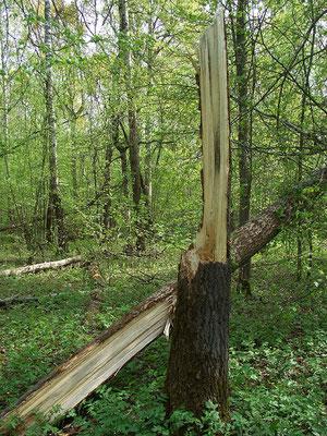 Здоровое дерево осины, сломанное ветром.