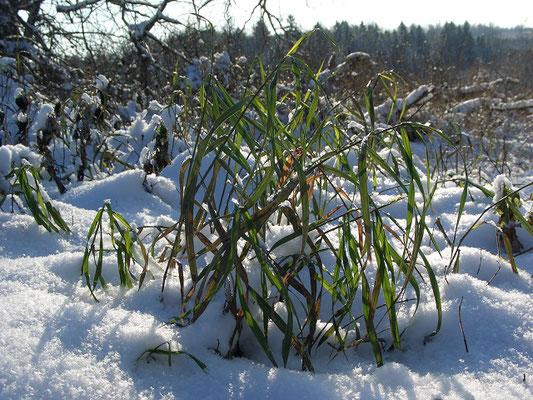 Ушедшая под снег осока. Так и осталась зелёной.