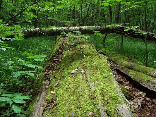 Мхи затягивают упавшие деревья.