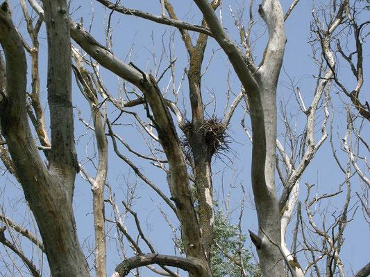 Жилое гнездо сокола-дербника расположено на сухой ветле в 10 м от земли.