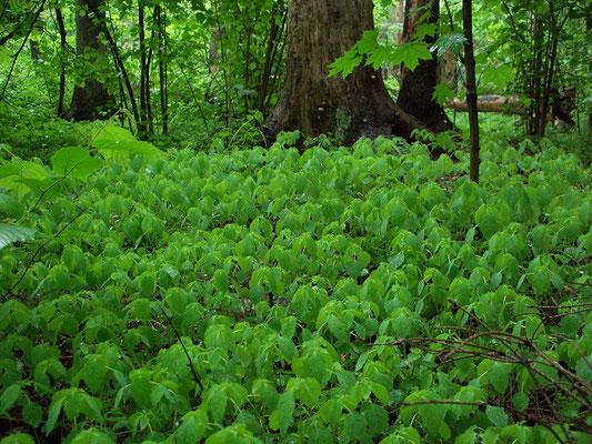 Подлесок в светлом еловом лесу на краю участка ельника, погибшего от короеда-типографа.